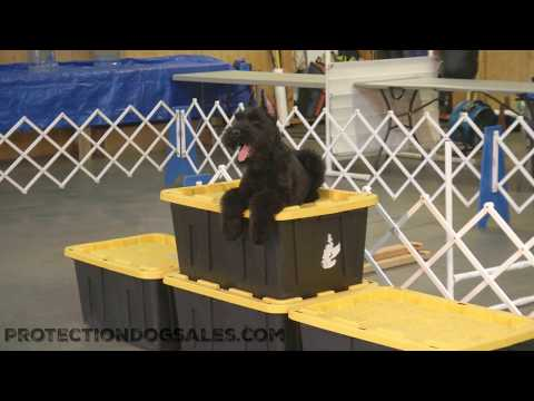 Low Shedding Giant Schnauzer Super Dog For Sale 'Abbott' 5 Mo's Amazing Dog For Sale