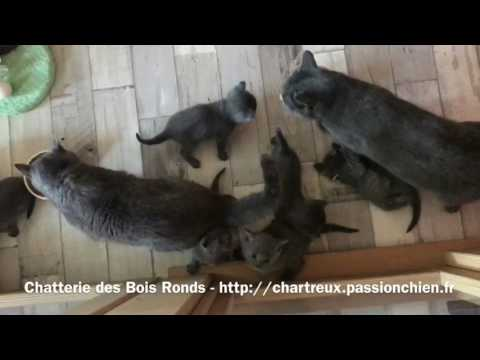 Chatons Chartreux LOOF 1 Mois