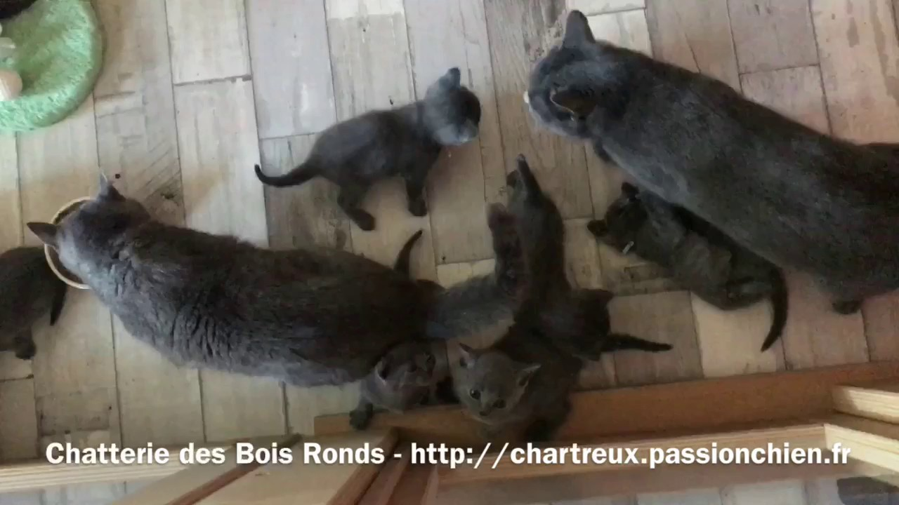 Chartreux Chaton Chatons Chartreux Loof 1 Mois