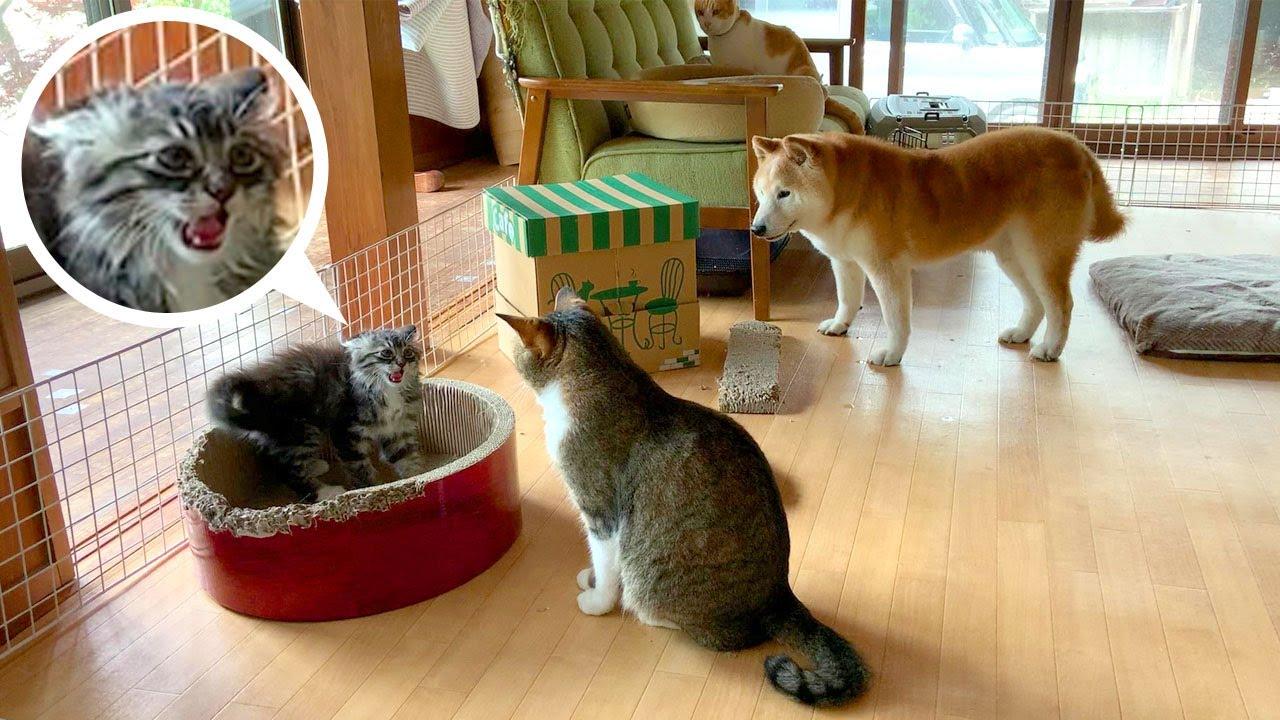 荒ぶる長毛子猫を傍観する先住犬猫