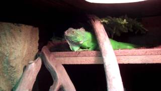 NEW Green Iguana Cage Set Up