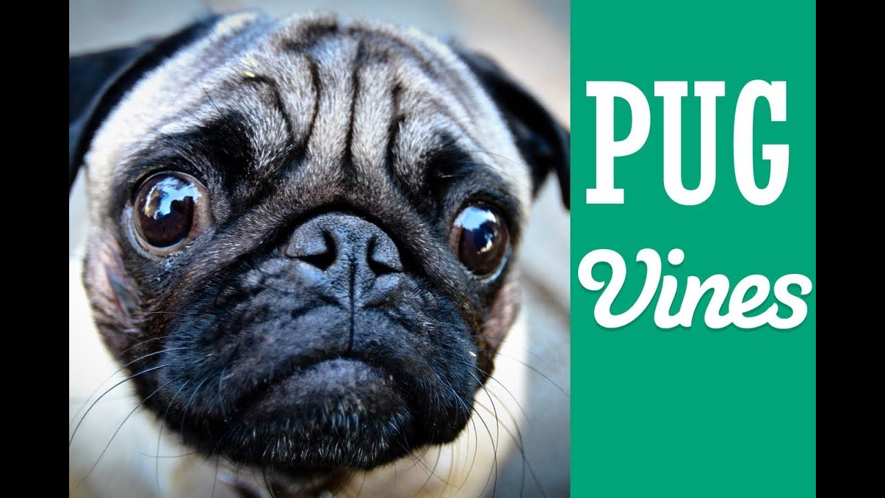 pug dating service Beta pug simulator welcome to your own virtual pug i am going to make a studio if we get over 10 likes is it possible like if you want to see another game like this.