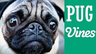 *new* Funny Pug Vines Compilation May 2015