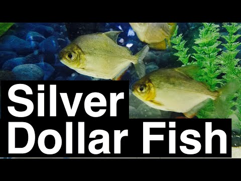 Silver Dollar Fish Facts & Tips - Care Guide