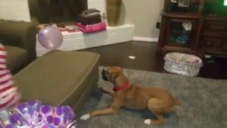 Ziva the Boxer vs the Balloon