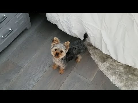 Playing Hide-and-Seek With a Yorkie Puppy