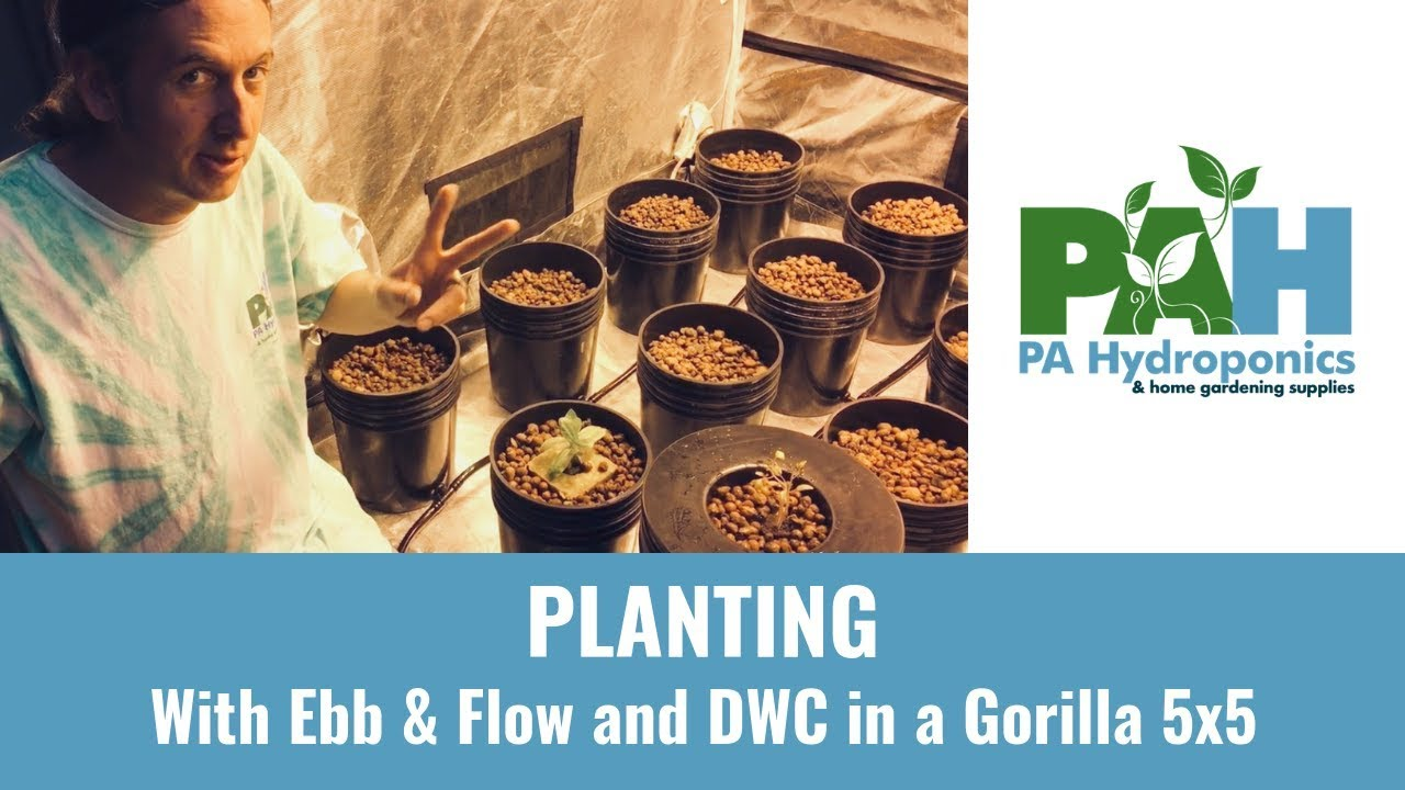 Planting in Hydroponics - Ebb & Flow & DWC in 5x5 Gorilla Grow Tent