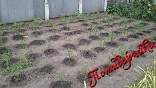 Помидоры на огороде в середине июня(Помидоры на огороде в середине июня. Очередное видео о помидорах черри на огороде и не только., 2014-06-17T13:58:45.000Z)