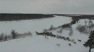 Северные олени НАО (Сергей Косков)