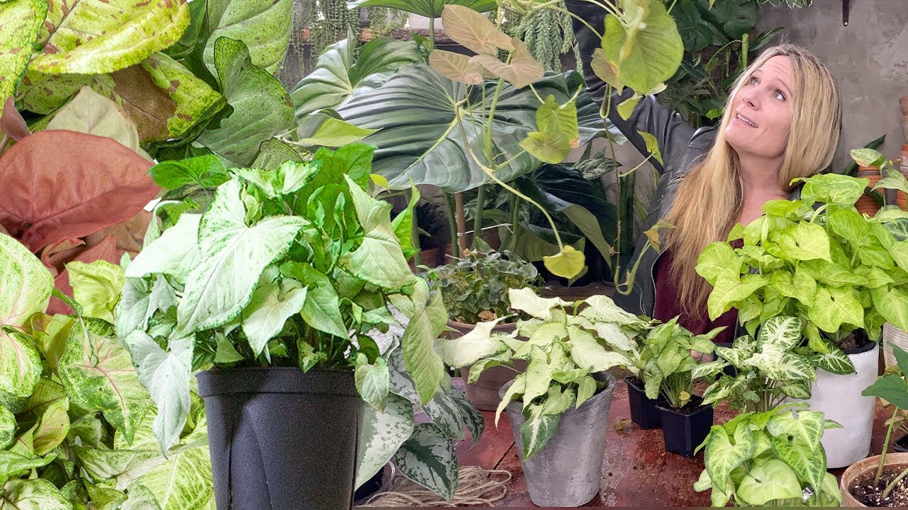 Download Syngonium Plant Care   Arrowhead Vine