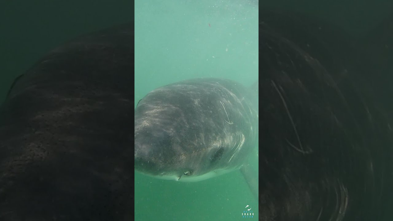 Great White with Cape Fur Seal Claw Marks Behind Her Eye #shorts