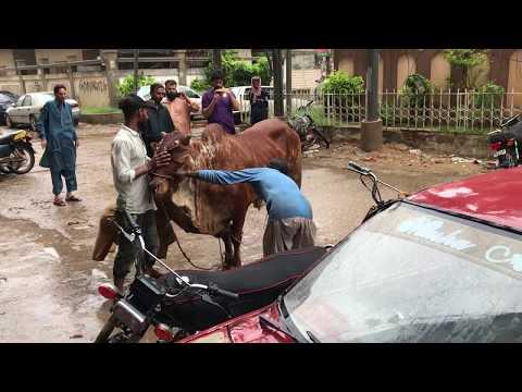 EID UL ADHA 2019 COW QURBANI 1 (GULSHAN-E-IQBAL)