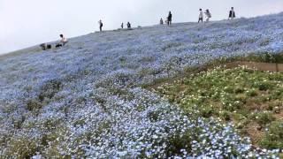 ネモフィラの丘 ネモフィラの丘 検索動画 26