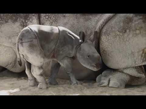 Rare One-Horned Indian Rhino Born at Zoo Miami