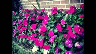 #geranium #geraniums #flowers #sommerblomster #gardening #red #plant #blomster #summer
