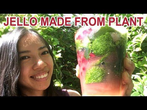 Grow Your Own Jello At Home (Suong Sam)