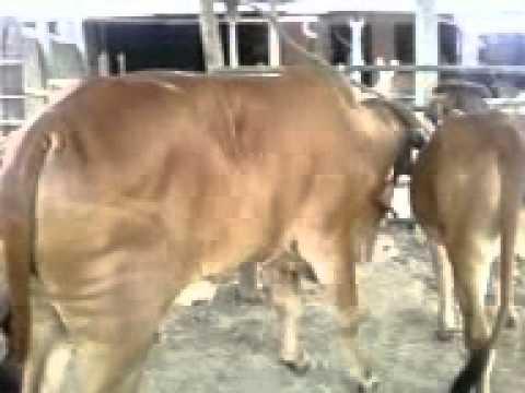 КРС,КРС оптом,телки,телята,бычки,откор,купить,89656176005 +7 965 .