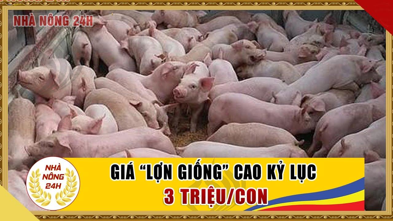 Giá lợn giống lên đỉnh cao kỷ lục từ trước tới nay | Giá lợn giống hôm nay | Tin tức nhà nông 24h