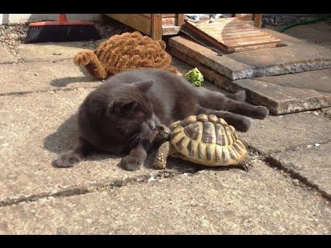 """Cats vs. Tortoises Compilation"" || CFS"