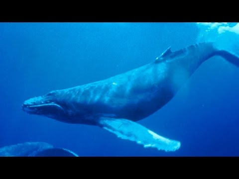 Haunting Song Of Humpback Whales