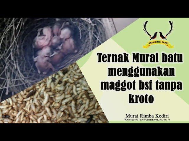 Ternak Murai batu menggunakan maggot bsf tanpa kroto