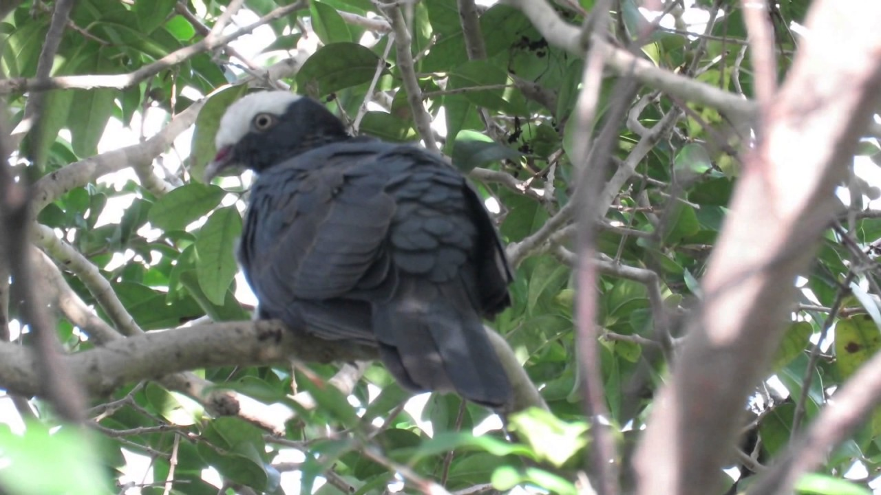 White crowned pigeon - photo#43