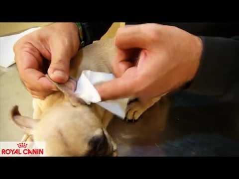 Mira Como limpiar las orejas a un perro facil