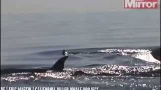 animal Dramatic moment killer whales