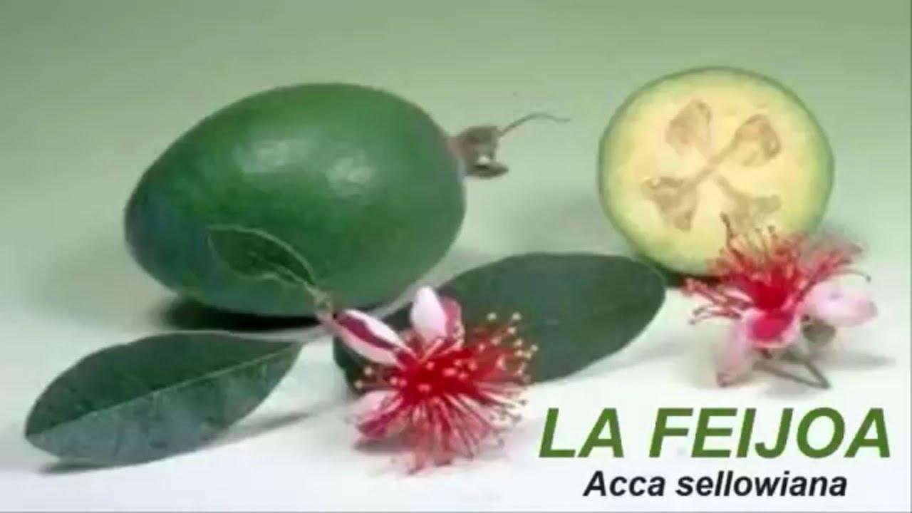 La Feijoapara Qué Sirve La Feijoaacca Sellowiana Youtube