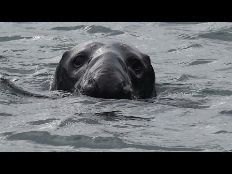 Kilmore Quay Harbour Seal