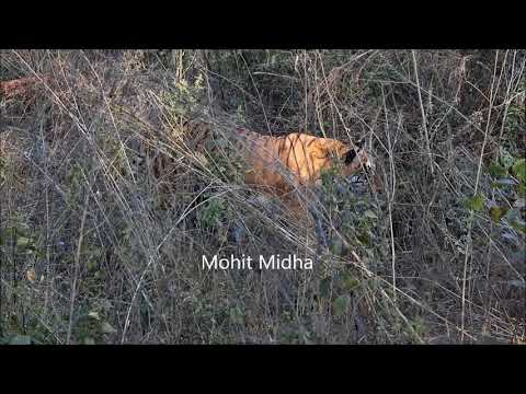 Tiger Hunt - Simply Awesome!