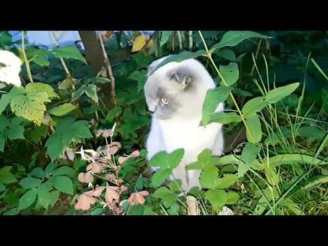 Шотландская вислоухая. Порода скоттиш фолд - от котенка до кошки.