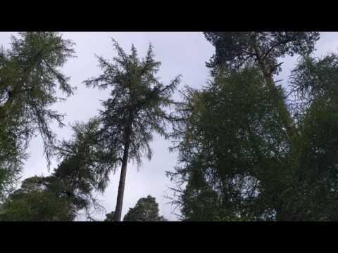 Scottish Crossbill Song