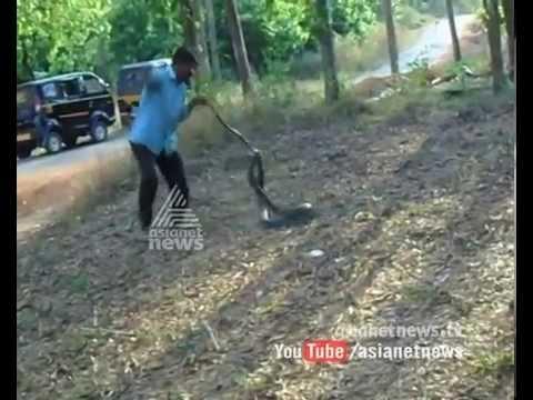 King cobra caught in Aralam | Exclusive Video