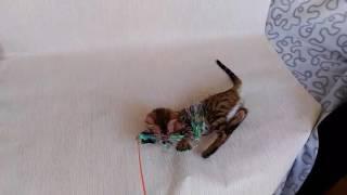 Бенгальский кот Paolo