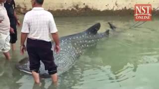Huge whale shark found trapped in fishing net in Malacca
