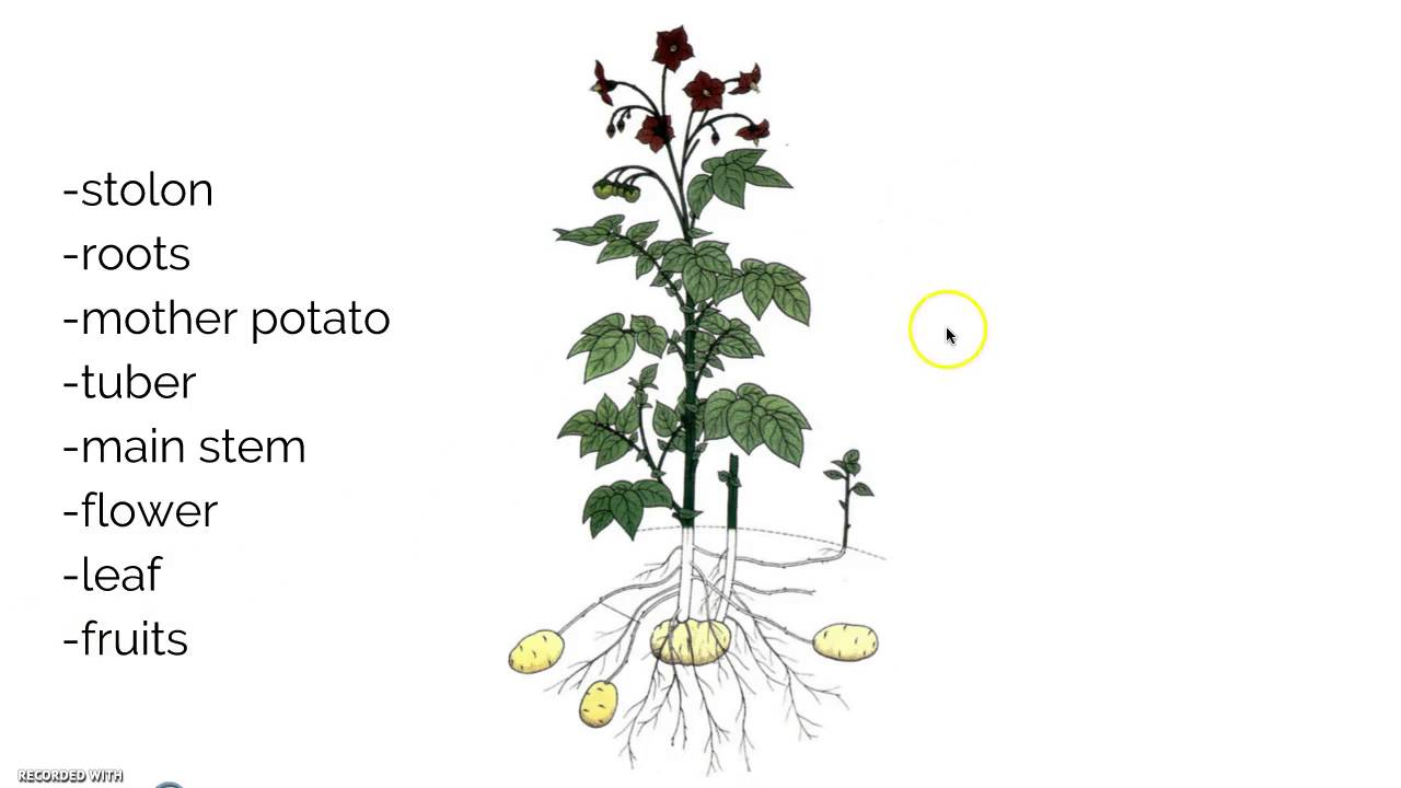 hight resolution of potato plants diagram