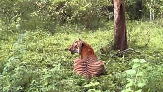 Prince the Tiger at Bandipur - July 2014
