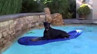 Dobermann en piscina / doberman in swimming pool