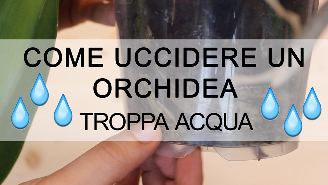 Come uccidere un 39 orchidea troppa acqua youtube - Come curare un orchidea in casa ...
