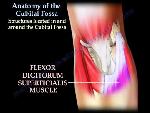 Anatomy Of The Cubital Fossa - Everything You Need To Know - Dr. Nabil Ebraheim