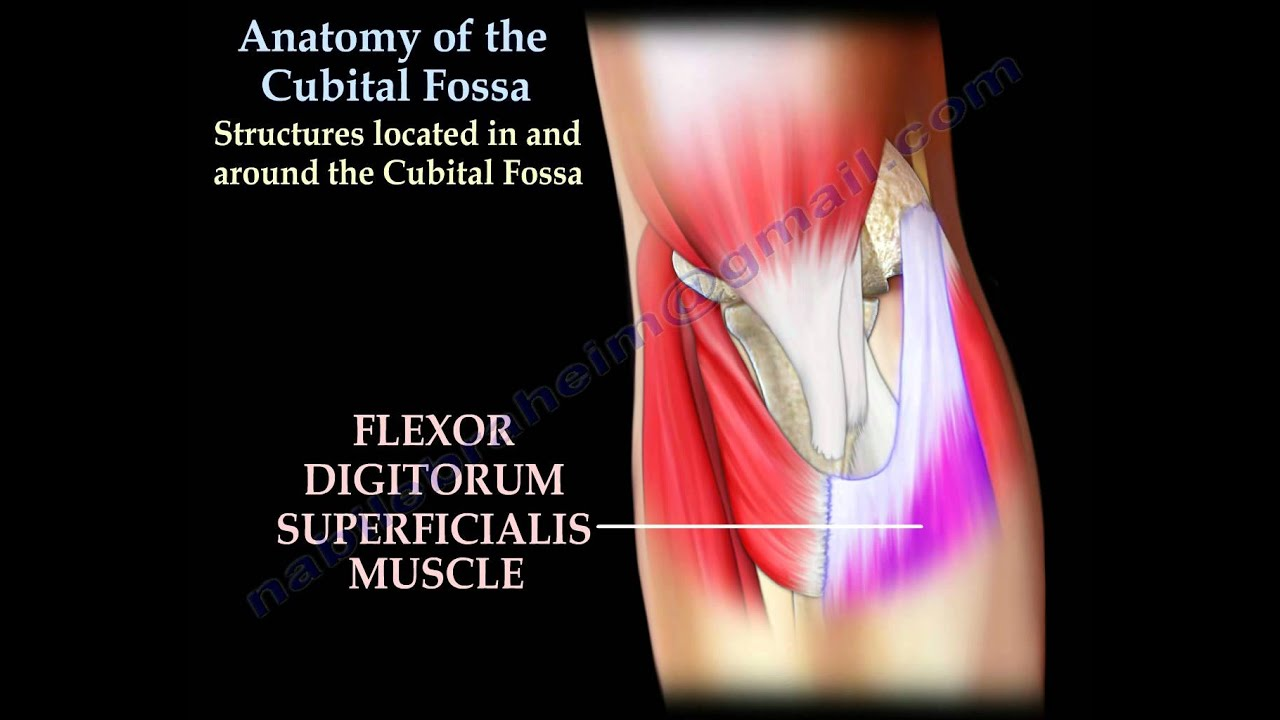 Anatomy Of The Cubital Fossa - Everything You Need To Know - Dr ...