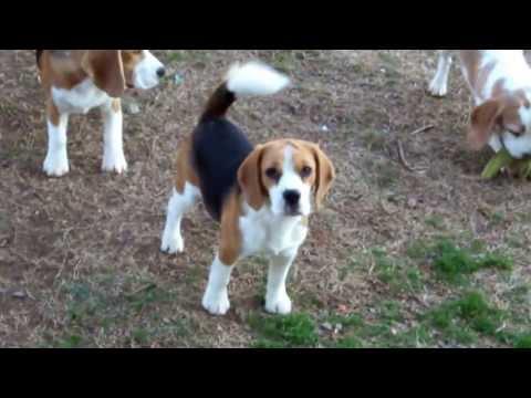 Beagles jugando | tuperro.Org
