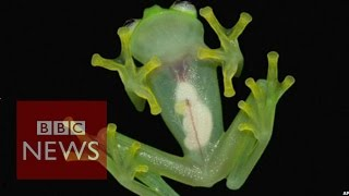 Glass frog with translucent skin found in Costa Rica - BBC News