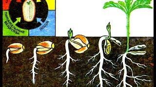 Рост и развитие растений (2). Биология 6 класс.