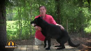 The Difference in Show Line and Working Line German Shepherds with GSM