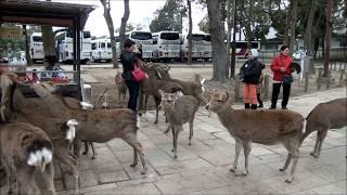 BGMは、吉永小百合さんの若かりし頃の歌「奈良の春日野」です。 ♪鹿のふ...