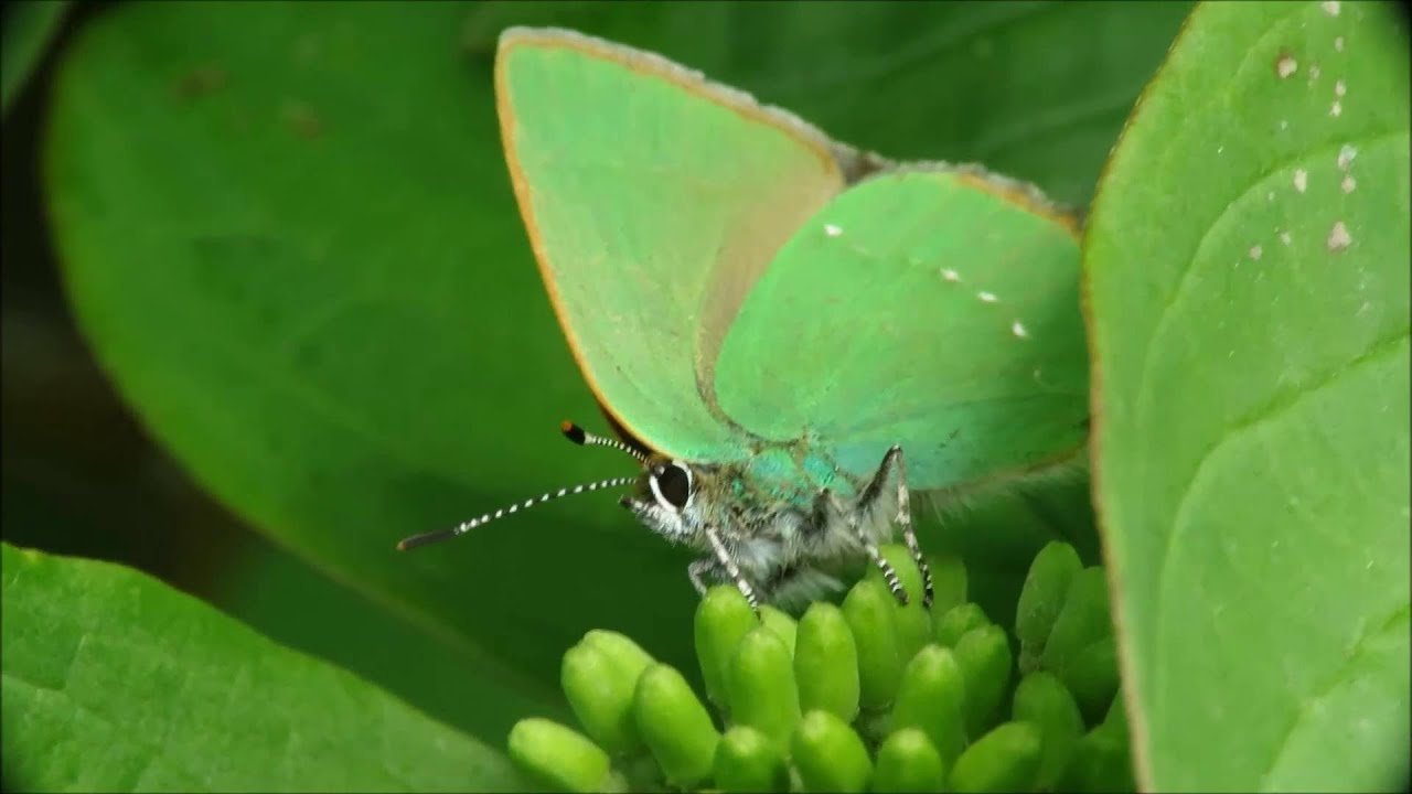 green hairstreak butterfly essay Amphibians and reptiles  because there is little surface water on mt fuji and few bodies of water such as lakes or marshes in shizuoka, only 7 species of amphibians.