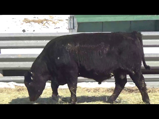 Connealy Angus Lot 368
