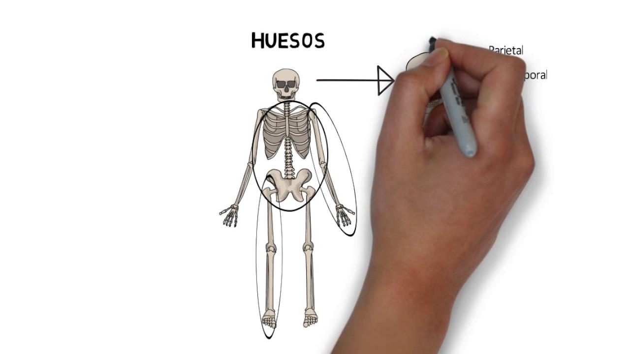 Músculos esqueléticos y huesos para niños (aparato locomotor) - YouTube